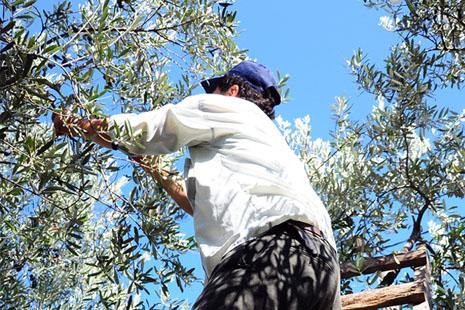 Photo d'un homme cueillant des olives à la main